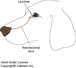 Eye Discharge or Epiphora in Dogs | VCA Animal Hospital