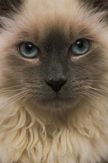 Eye Discharge Or Epiphora In Cats Vca Animal Hospital