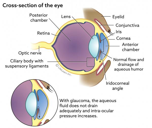 Canine Eye Dog Eye Anatomy Diagram