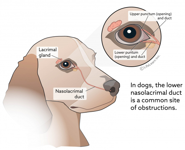 Eye Discharge (Epiphora) in Dogs | VCA Animal Hospital