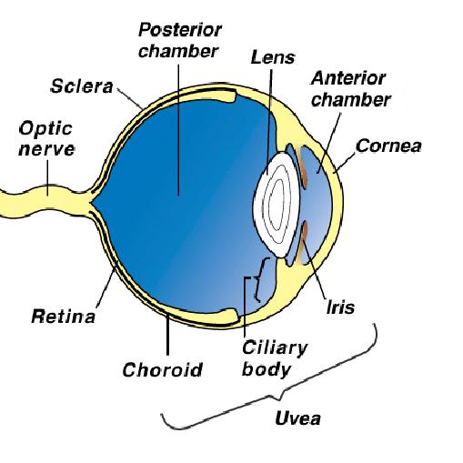 Eye tumors melanoma in dogs vca animal hospital what are melanocytic eye tumors ccuart Image collections