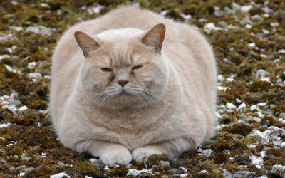 obese cat needs to lose weight