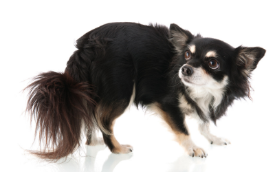 Urinary Incontinence (Urethral Incontinence) in Dogs