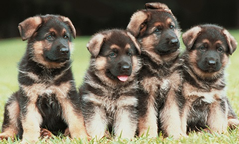 Breeding for Dog Owners - Caring for Newborn Puppies