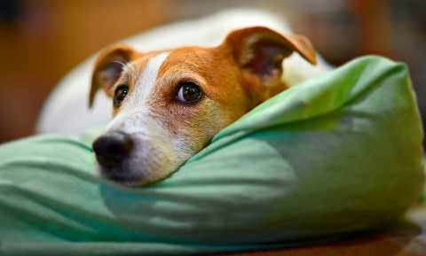 Canine Influenza: The Dog Flu
