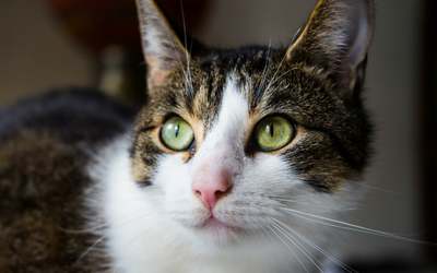 Ulcerative Keratitis in Cats