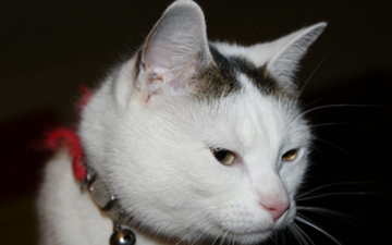 Inflammatory Bowel Disease in Cats | VCA Animal Hospital