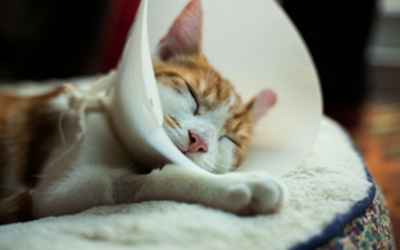Surgical Discharge Instructions for Cats