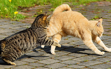 Fight Wound Infections in Cats
