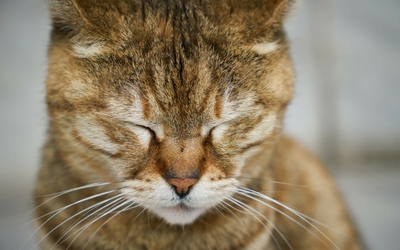 Perineal Urethrostomy Surgery in Cats