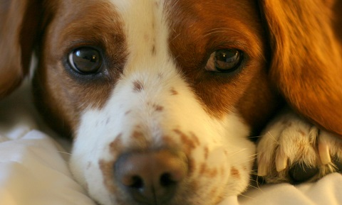 Treating Cataracts In Dogs Uk