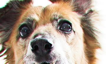 Corneal Ulcers in Dogs | VCA Animal Hospital
