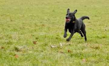 Cruciate Ligament Rupture in Dogs