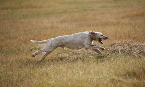 Dog Sports---Field Trials