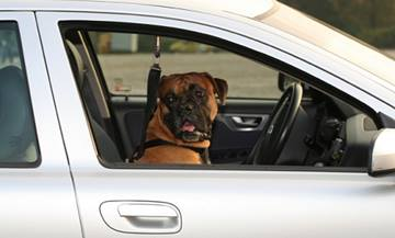 Dog Behavior and Training - Traveling - Air and Car Travel