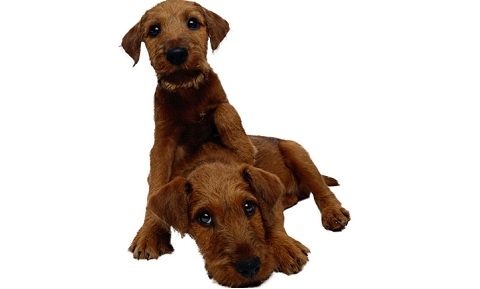 Dog Behavior Problems - Aggression - Sibling Rivalry - Diagnosis
