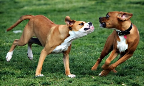 Dog Behavior Problems - Aggression Diagnosis and Overview
