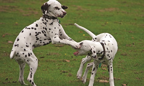 Dog Behavior Problems - Aggression - Sibling Rivalry - Treatment