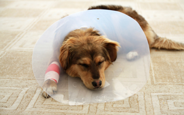 Care of Surgical Incisions in Dogs