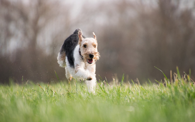 RAST Testing in Dogs