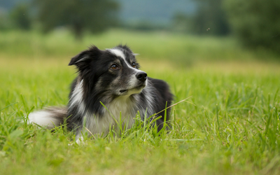 Anaphylaxis in Dogs