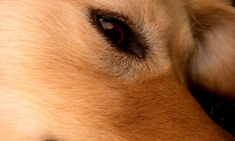 Ectopic Cilia or Eyelash Problems in Dogs