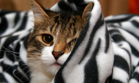 Ethylene Glycol Poisoning in Cats