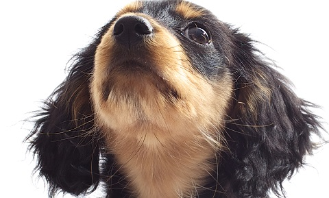 Eye Discharge or Epiphora in Dogs