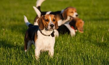 False Pregnancy or Pseudopregnancy in Dogs
