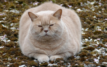 Overweight, Obesity, and Pain in Cats: Overview