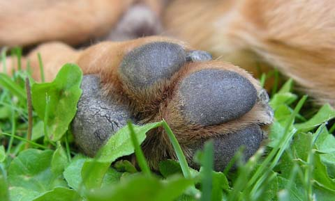 First Aid for Torn or Injured Foot Pads in Dogs