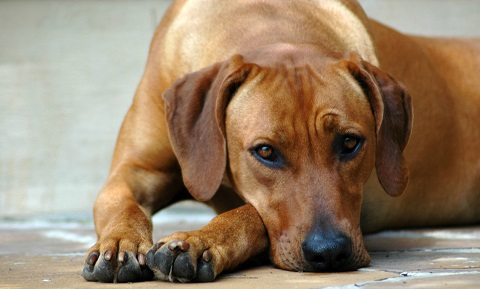 Gastritis in Dogs