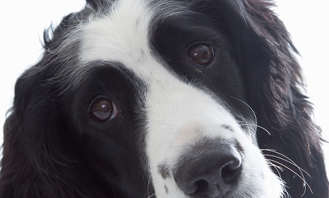 How Do You Treat Glaucoma In Dogs