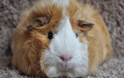 Owning Guinea Pigs