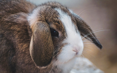 Dental Disease in Rabbits