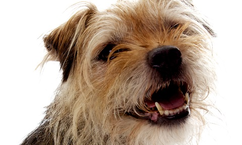 Retained Deciduous Teeth (Baby Teeth) in Dogs