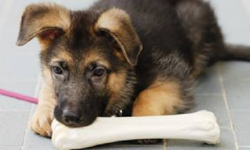 Teeth, Teething and Chewing in Puppies | VCA Animal Hospital