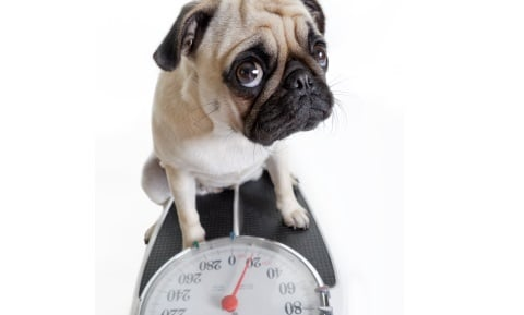 Testing for Weight Loss in Dogs