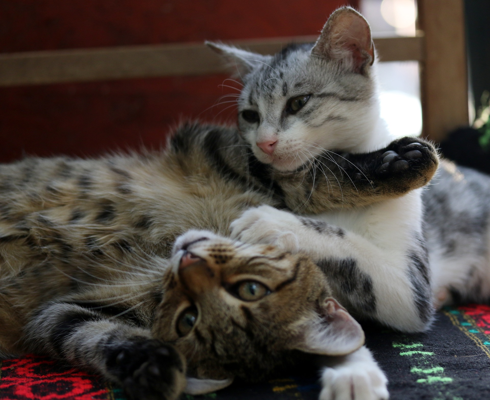 Cat Adoption: Bonded Pairs