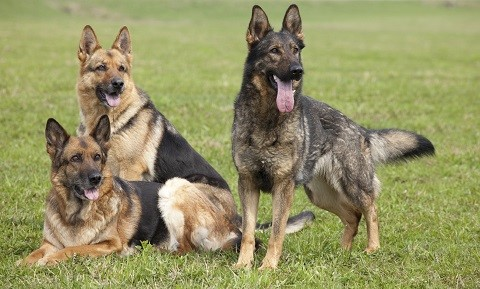 Dog Behavior and Training - Dominance, Alpha, and Pack Leadership - What Does It Really Mean?