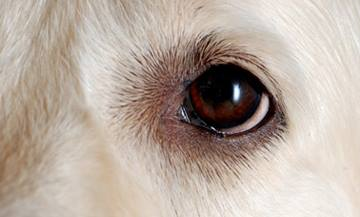 Eyelid, Conjunctival, and Peri-ocular Tumors | VCA Animal