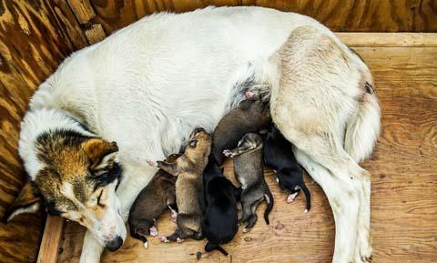 Feeding The Nursing Dog