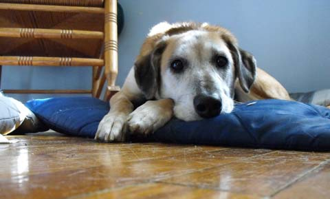 First Aid for Falls in Dogs | VCA Animal Hospital