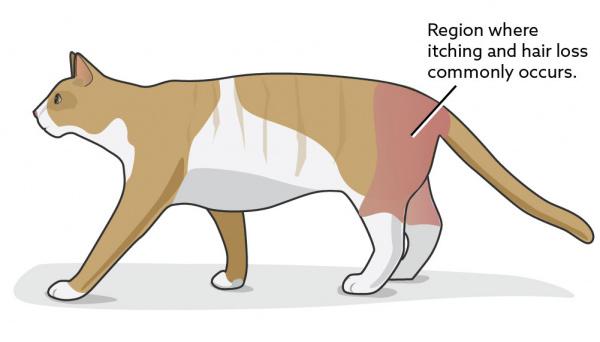 Flea Allergy Dermatitis in Cats | VCA Animal Hospital