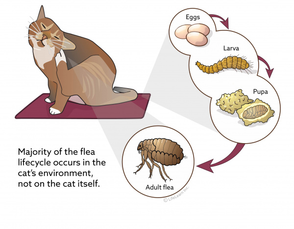Flea Control In Cats Vca Animal Hospital