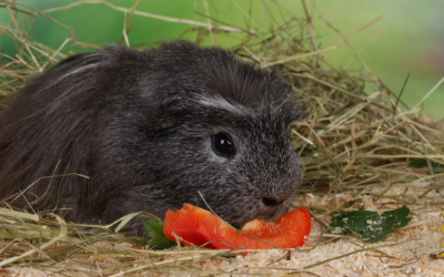Health Problems in Guinea Pigs | VCA Animal Hospital