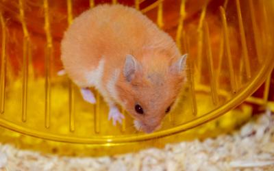 Owning a Pet Hamster   VCA Animal Hospital