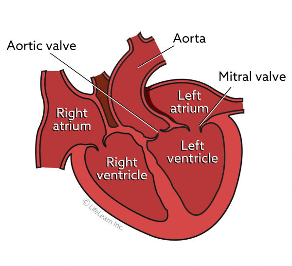 Mitral Valve Disease in Dogs | VCA Animal Hospital