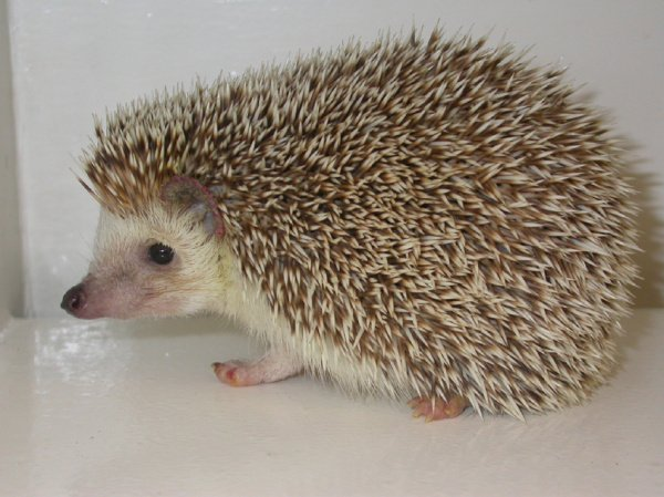 hedgehogs-owning-1