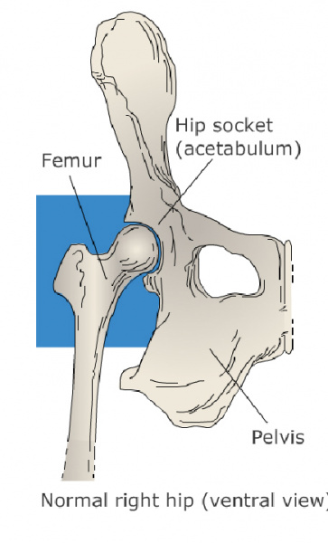 hip_dislocation_and_pot-op_care_in_cats-1